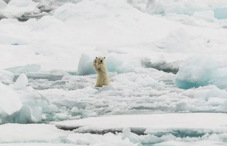 Cachorro de Oso Polar. Foto de Colin Mackenzie. National Geographic Photo Contest