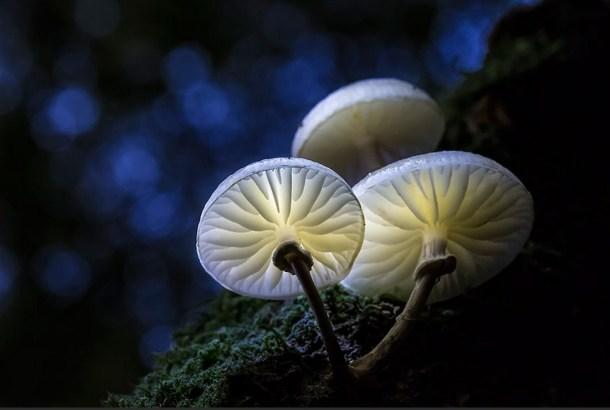 Porcelain-fungus