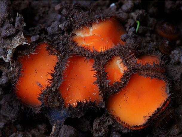 Scutellinia-scutellata