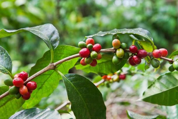 genoma del café