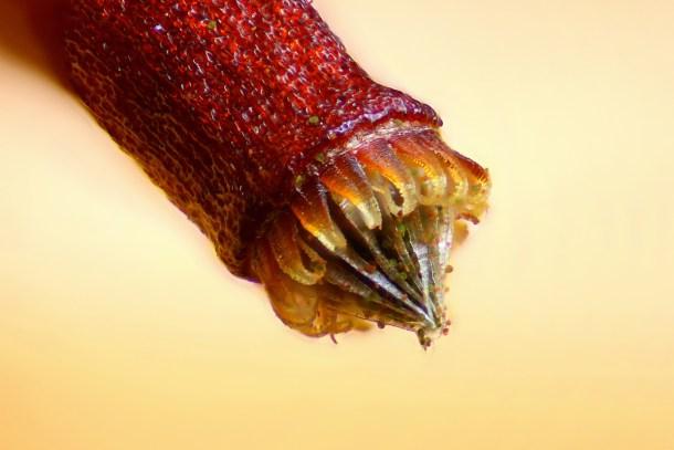 Capsula de esporas de un musgo.  Créditos: Henri Koskinen