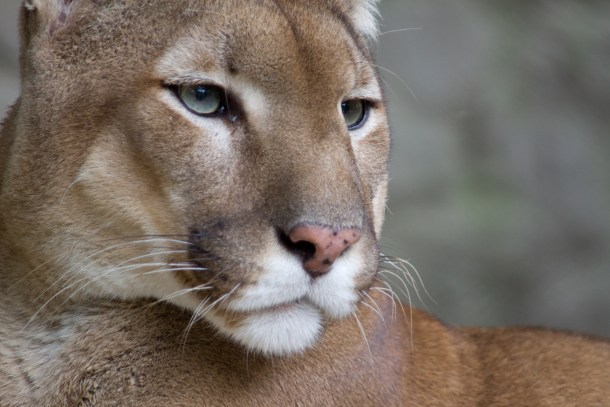 """""""Puma face"""" by Bas Lammers - originally posted to Flickr as Puma. Licensed under CC BY 2.0 via Wikimedia Commons."""