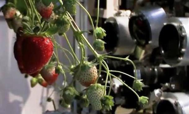 Cámaras analizan la fresa, el software identifica si es idóneo recogerla, y un brazo robótico corta el tallo. Todo en segundos.