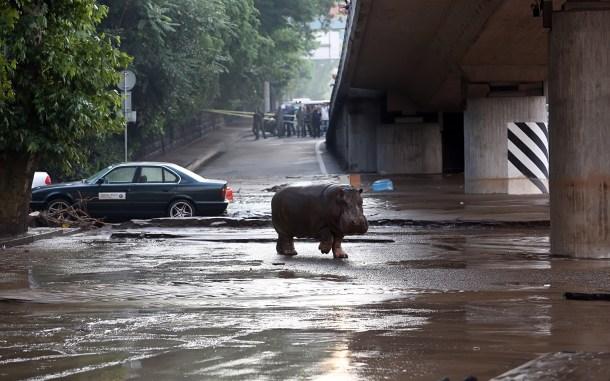 Un hipopótamo cruza las calles inundadas de Tbilis tras escapar de un zoo. AFP - Beso Gulashvili.