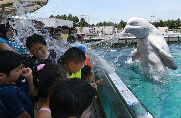 Una ballena beluga arrojando agua al público de un espectáculo acuático en Tokio. AFP - Toshifumi Kitamura.