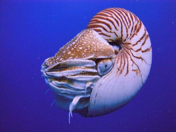 """Nautilus Palau"" by Manuae - Own work. Licensed under CC BY-SA 3.0 via Commons."