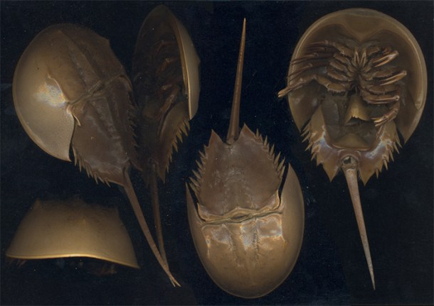 """Limulus polyphemus"". Licensed under CC BY-SA 2.5 via Wikimedia Commons."