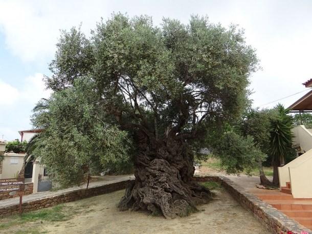 olivo-de-vouves