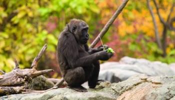 genoma de los gorilas