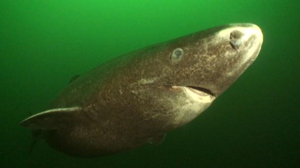 tiburon-de-groenlandia-2