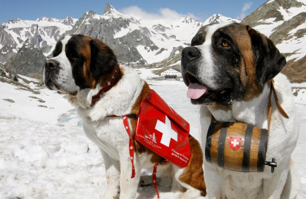Saint Bernard dogs Katy and Salsa.