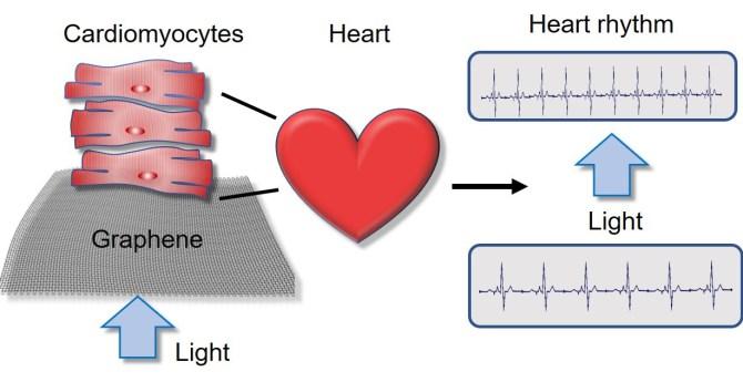 células cardíacas