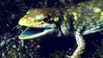 lagartos de sangre verde