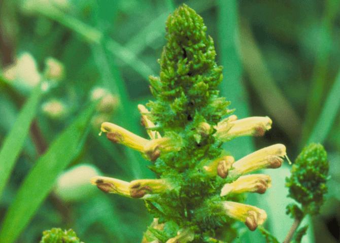 pedicularis