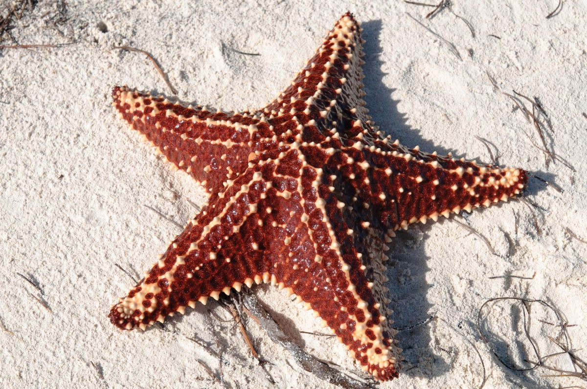 Así se mueven las estrellas de mar