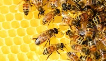 abejas que usan estiércol para defenderse