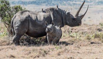 rinocerontes negros en cautividad