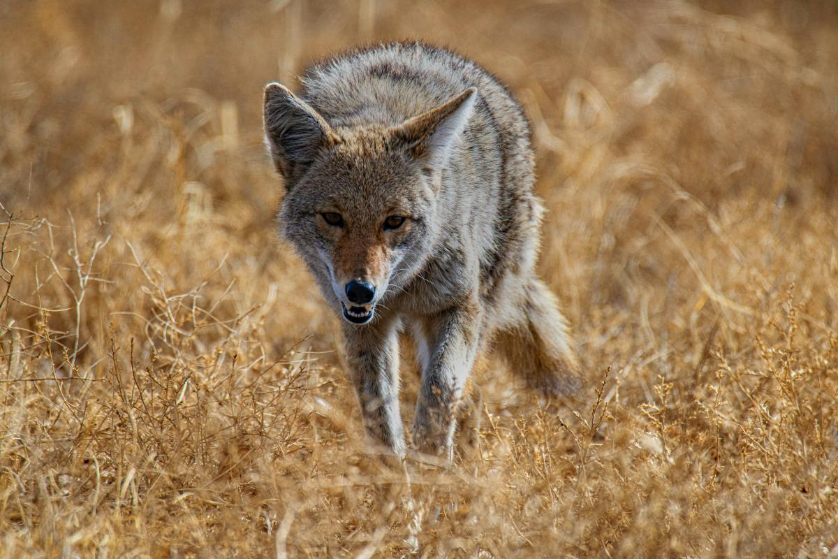coyote, drogas