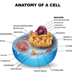 using the plant or animal cell diagram below choose the parts of the cell that you want your student s to recreate and include in their chocolate chip  [ 1024 x 770 Pixel ]