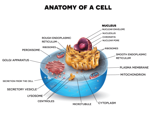 small resolution of using the plant or animal cell diagram below choose the parts of the cell that you want your student s to recreate and include in their chocolate chip