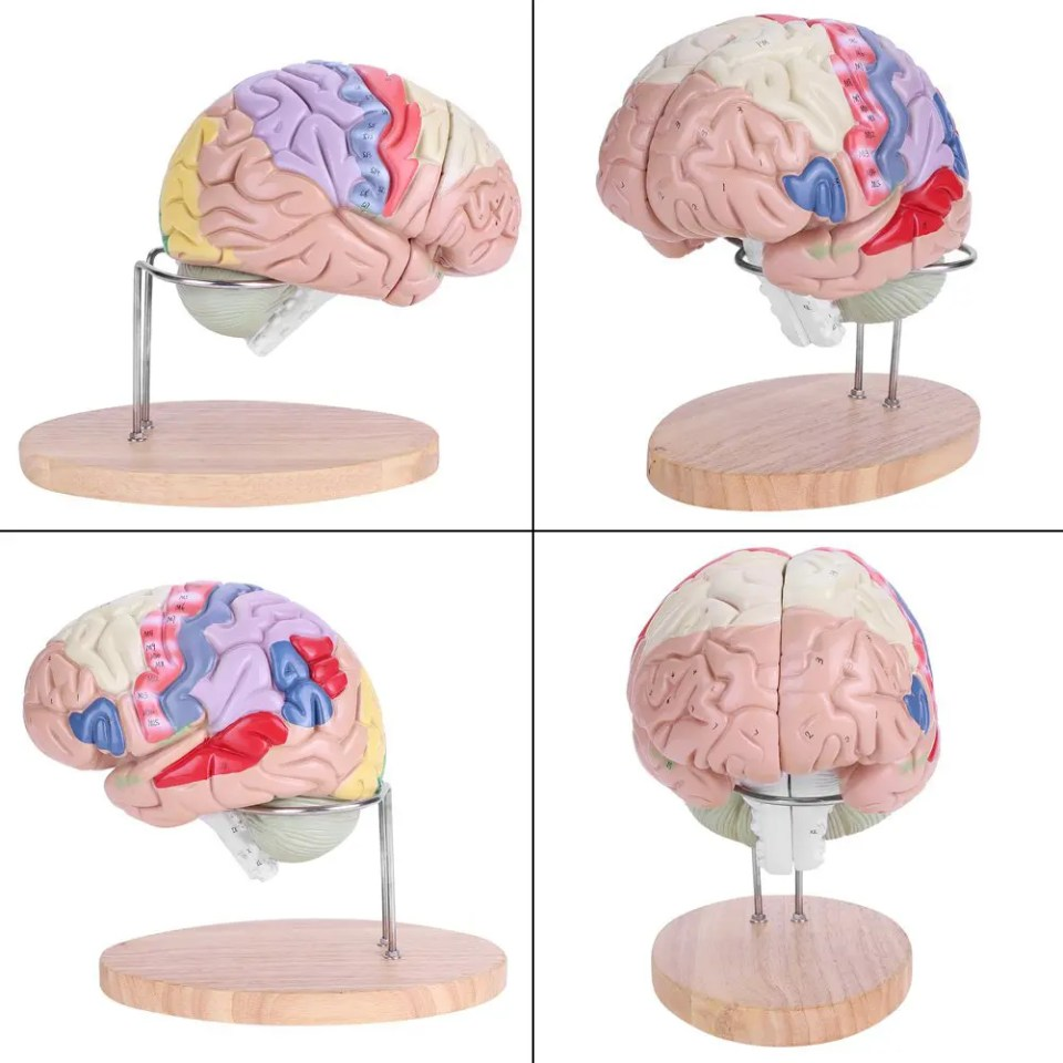 cerebro anatómico