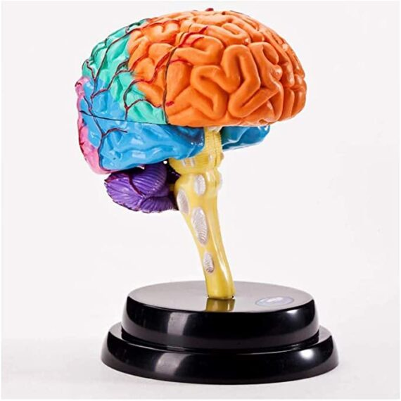 Cerebro anatómico educativo