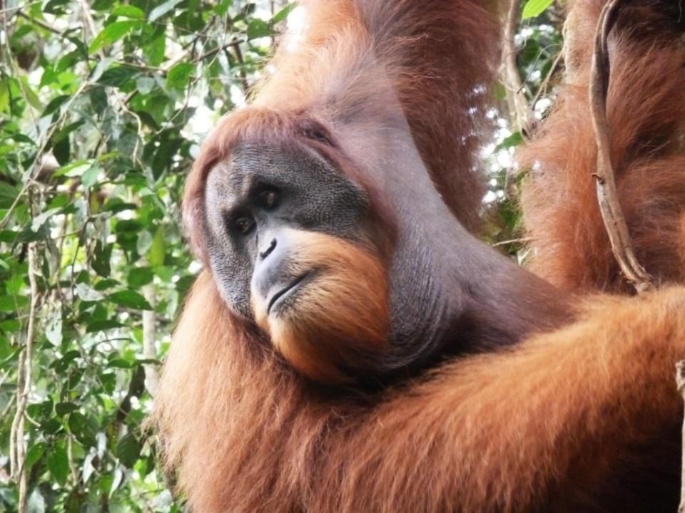 Orang Oetan Sumatra Indonesië