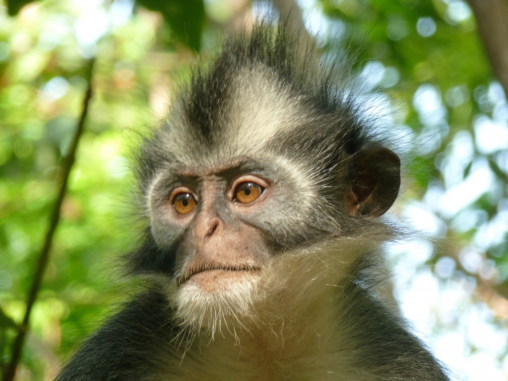 Thomas-Leaf-monkey-Sumatra