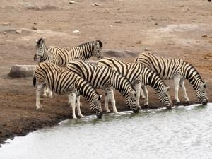 Zebra's in Etosha Namibië
