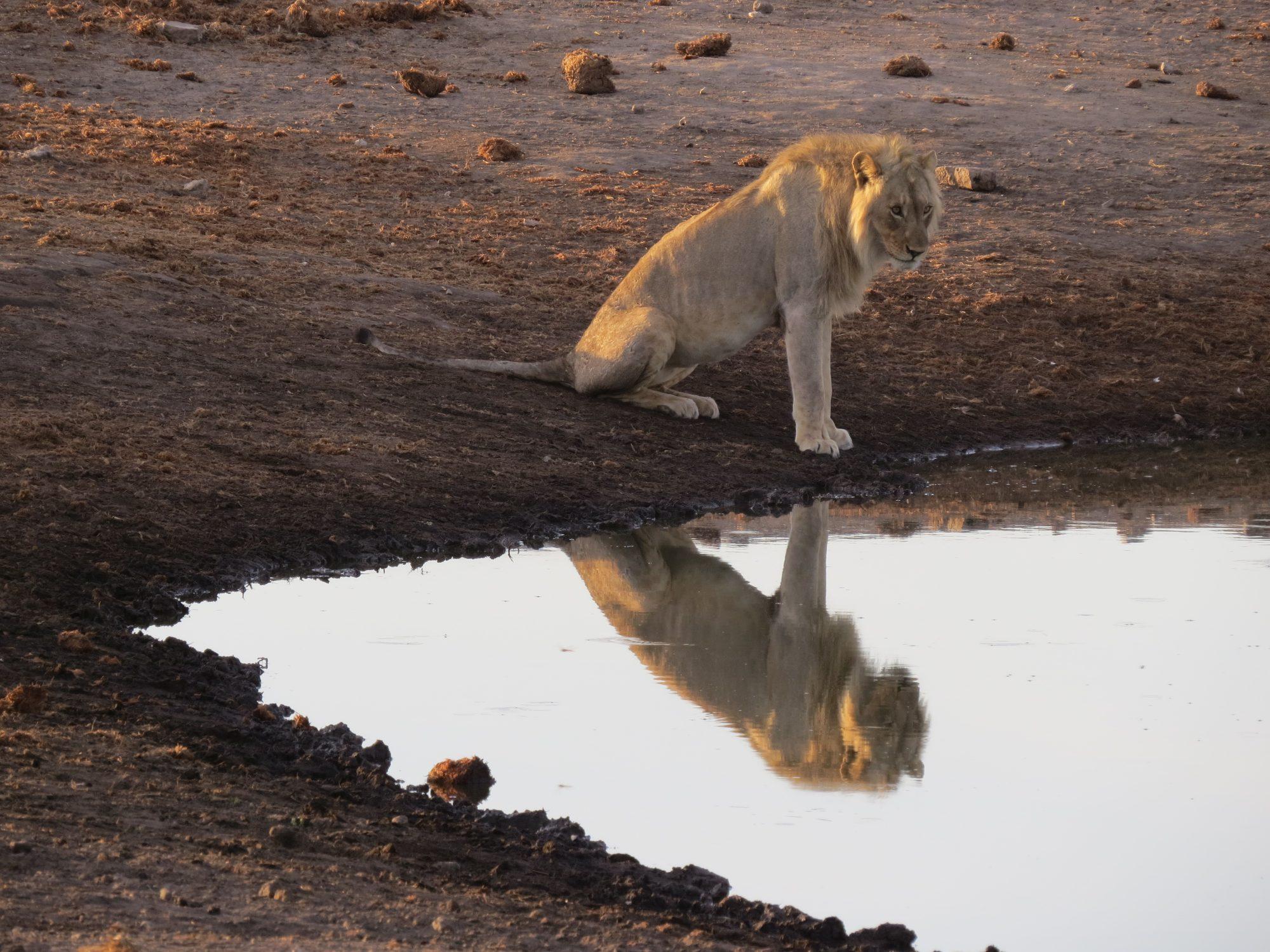 Leeuw in Etosha
