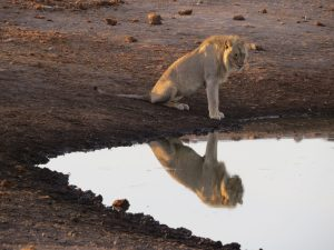 Leeuw in Etosha Namibië