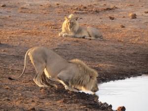 Etosha NP Namibië