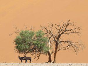 Gemsbokken in de Sossusvlei Namibië
