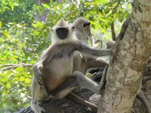 Aap bij Anuradhapura Sri Lanka