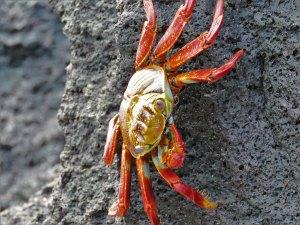 Sally Lightfoot Crab Galapagos Ecuador