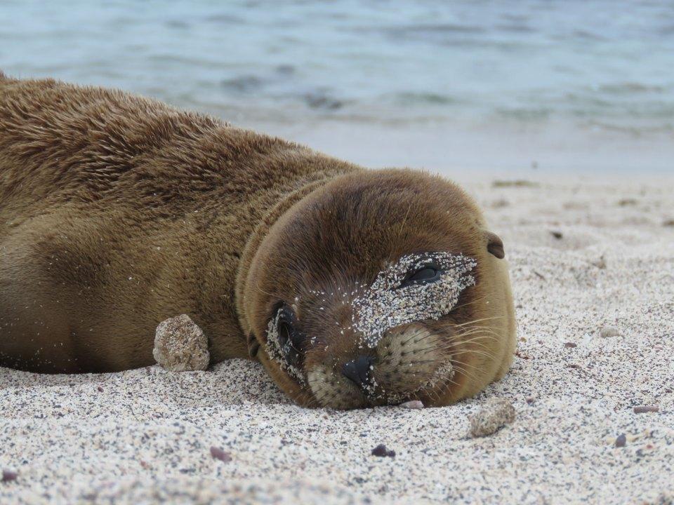 Zeeleeuw Galapagos Ecuador