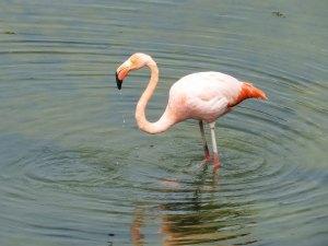 Flamingo Isabela Island Galapagos