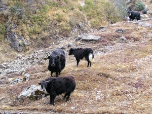 Yaks in Sikkim India