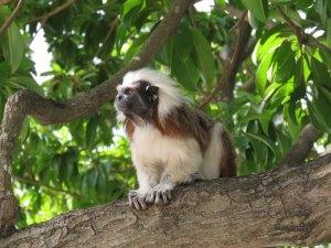 Aapje in Parque del Centenario Cartagena Colombia