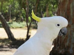 Kaketoe the Grampians Australië