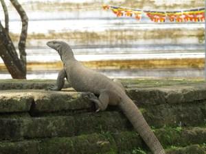 Hagedis Polonnaruwa Sri Lanka
