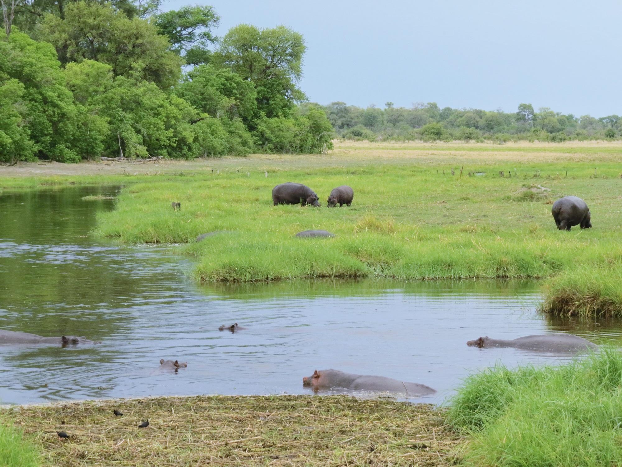 Nijlpaarden in Moremi NP Botswana
