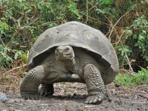 Landschildpad op Isabela Island Galapagos Islands Ecuador