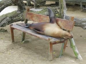Zeeleeuw op bankje Isabela Island Galapagos