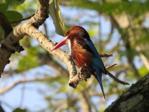 Kingfishers spotten Kandy Sri Lanka