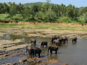 Olifanten Pinnewala Elephant Orphanage