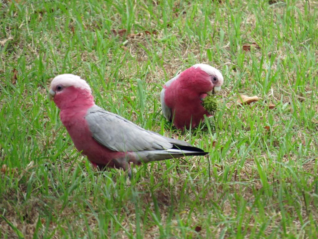 Galah-roze-kaketoe-Australie
