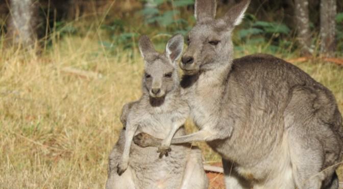 De bijzondere dieren van Australië
