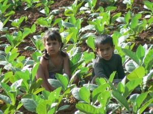 Kinderen-tusse- tabaksplanten-Cuba
