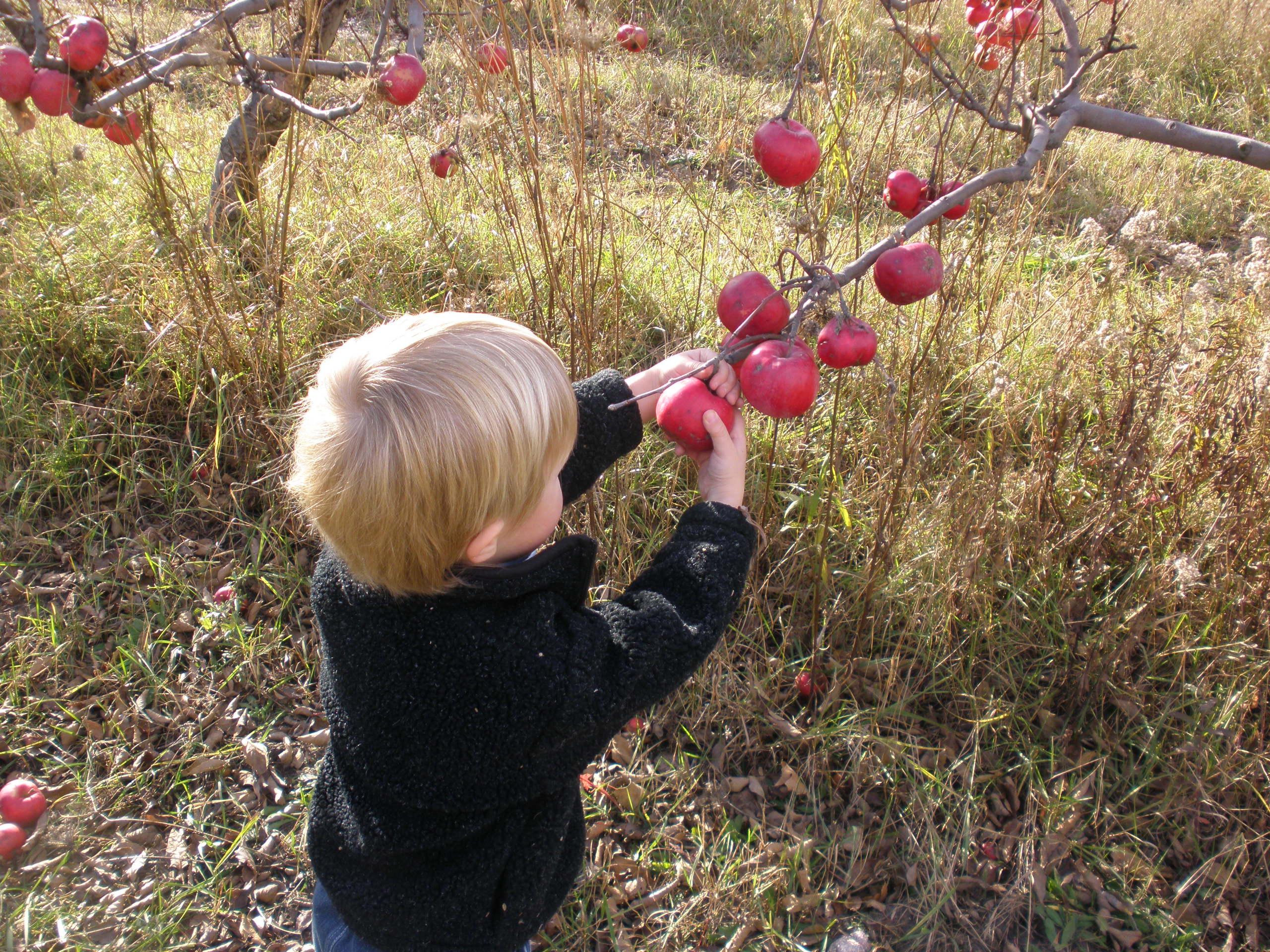 Little guy pickin' apples